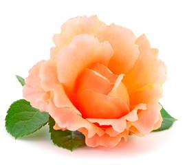 Orange roses flowers.