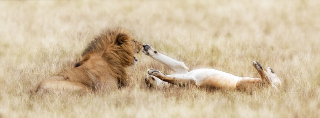 Lion and playful lioness