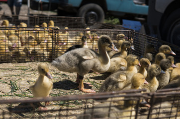 Yellow duck in a box from metal net for sale on a fair. Incubator ducklings for sale. Agriculture. Farming.