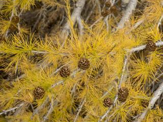 Les branches de mélèzes d'Europe (Larix decidua) aux rameaux qui tombent, couverts d'aiguilles roussies en automne avec des cônes bruns à maturité