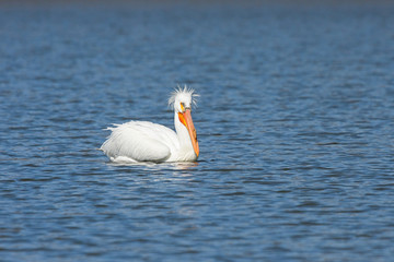 Pelican With A Bad Hairdo