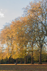 Autumn landscape, row of trees with golden colored leaves taken in Hyde Park, London.