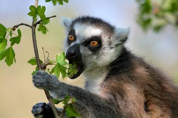 Portrait Katta - Lemur Catta - beim Fressen