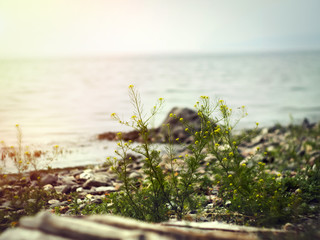 Shrub on the shore of Lake Baikal on the background of water and sunset