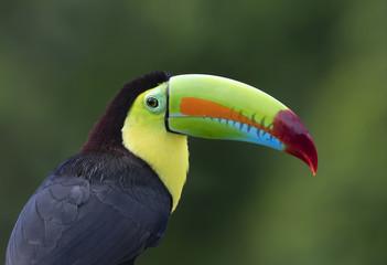 Foto op Plexiglas Toekan Keel-billed toucan (Ramphastos sulfuratus) perched on a mossy branch in the rainforests of Costa Rica