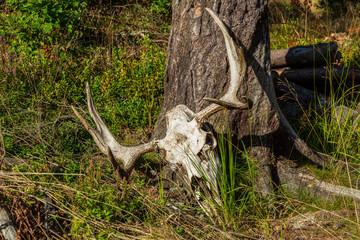 Kranium med horn från älg