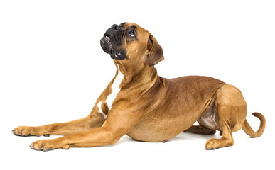 Foto op Canvas Hond dog boxer breeds on white background