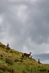 Herd of red deer in the gren hills of Ireland