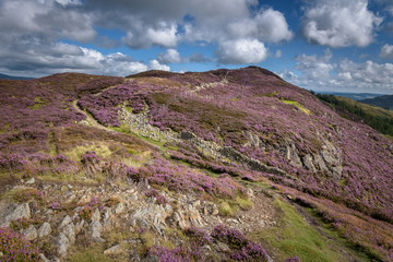 Path over the mountains in England with pink flowers