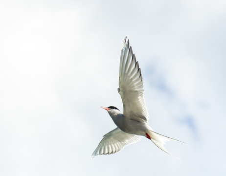 Arctic tern in flight.Tromso.Norway