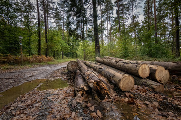 Logging in the wet forest of Belgian ardennes with big logs in foreground