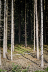 Dark pine forest in the heart of the Belgian ardennes close up composition
