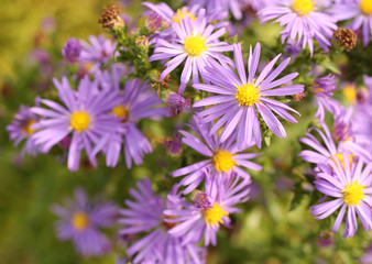 Blossoming purple asters in the garden.