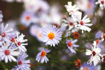 autumn or summer small flowers. Asters. floral background.