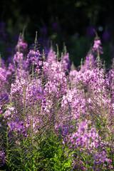 A rosebay meadow-1