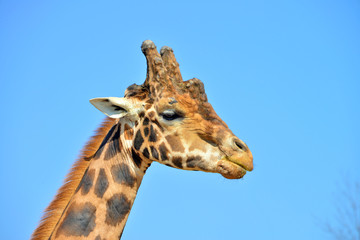 primissimo piano di una giraffa vista frontalmente e di profilo