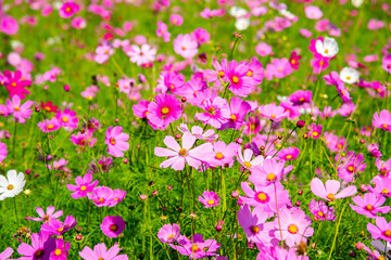 Cosmos flower (Cosmos Bipinnatus) with blurred background . Beautiful flowers ,Flowers in the garden