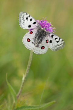 Mountain Apollo (Parnassius apollo) dorsal view with open wings to show the bright red eyespots.