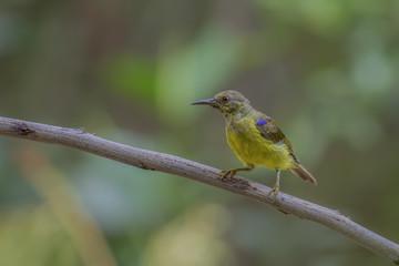 Beautiful Birds of Thailand( Brown-throated sunbird, Plain-throated