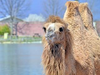 un cammello in primo piano visto frontalmente