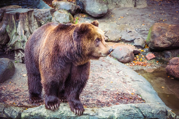 Big wild brown bear in forest on rock, dangerous animal in natural green background.