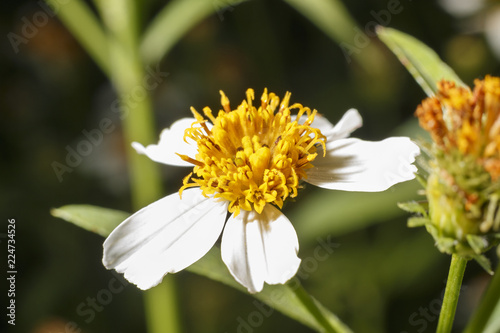 Bees on white flowers have yellow stamens stock photo and royalty bees on white flowers have yellow stamens mightylinksfo