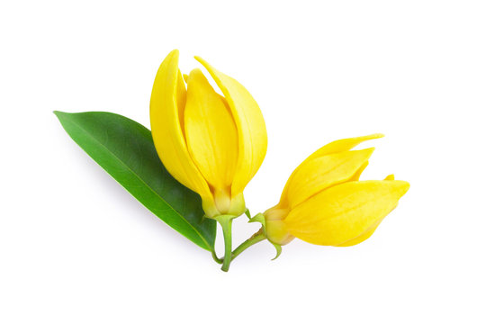 Top view Ylang-Ylang flower,Yellow fragrant flower on white background