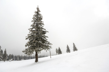 Black and white winter mountain New Year Christmas landscape. Isolated alone tall fir-tree covered with frost in deep clear snow on copy space background of white sky and black forest on horizon.
