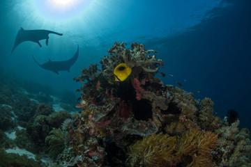 The Reef Manta Ray, Manta Alfredi.