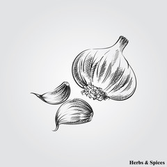 Hand drawn garlic. Herbs and Spices in sketch style, vector illustrator.