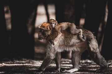 Monkey carrying baby on back