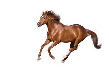 Wall Mural - Red horse run gallop isolated on white background