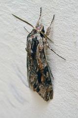 Agrius convolvuli moth