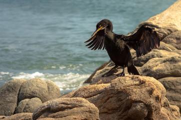 Cormoran prés du rivage, punta di porto pollo, corse