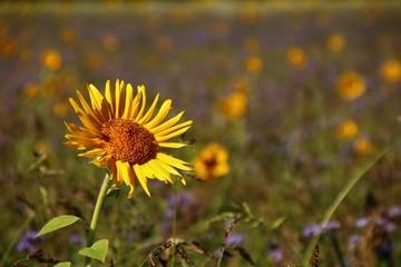 Fotoväggar - sonnenblume gründünger     Ökologischer Landbau