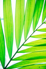 Close up palm leaf texture. Abstract tropical background.