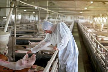 Veterinarian Examining Pigs at a Pig Farm