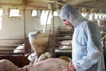 Pig Vet Checking Pigs For Diseases