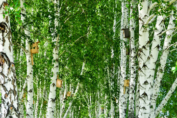 birch grove with birdhouses
