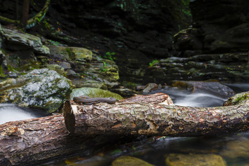 Snake Coiled Up Upon Pine Log In Stream