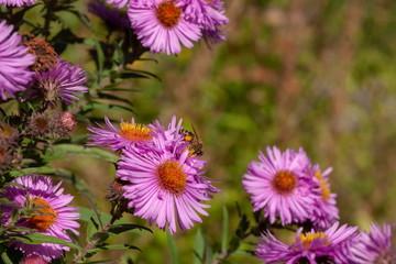 Wespe mit Pollen