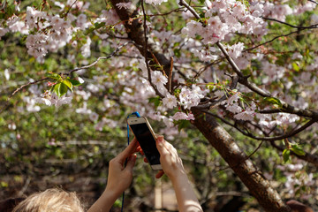 Girl holding a phone and taking pictures of Sakura flowers.