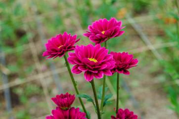Crisantemos Del Jardin