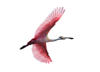 Roseate Spoonbill in flight isolated on white