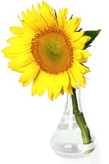 Single Sunflower In Vase - Isolated