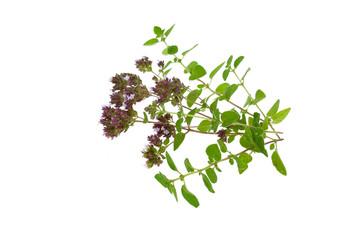 oregano..origanum vulgare isolated on white background .spicy herbs .fresh oregano twigs