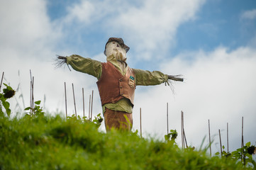 Scarecrow stands guarding the field.