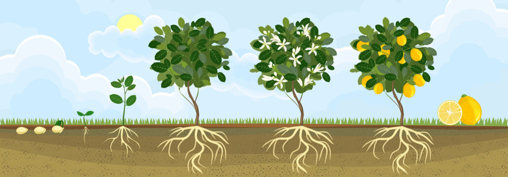 Life cycle of lemon tree. Stages of growth from seed and sprout to adult plant with fruits