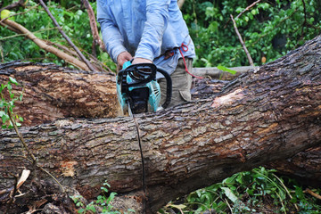 A carpenter in blue shirt is sawing the big tree by chainsaw.