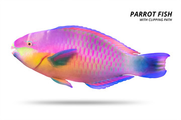 Parrot fish isolated on white background. Parrotfish with cut out. ( Clipping path )